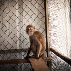 קוף בחוות מזור המגדלת חיות לצורכי מחקר. צילום: אלון רון